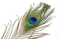 peacockf eather